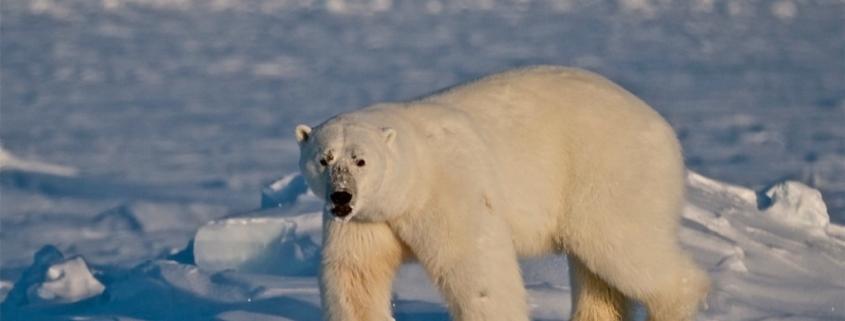 Oso polar Cánada